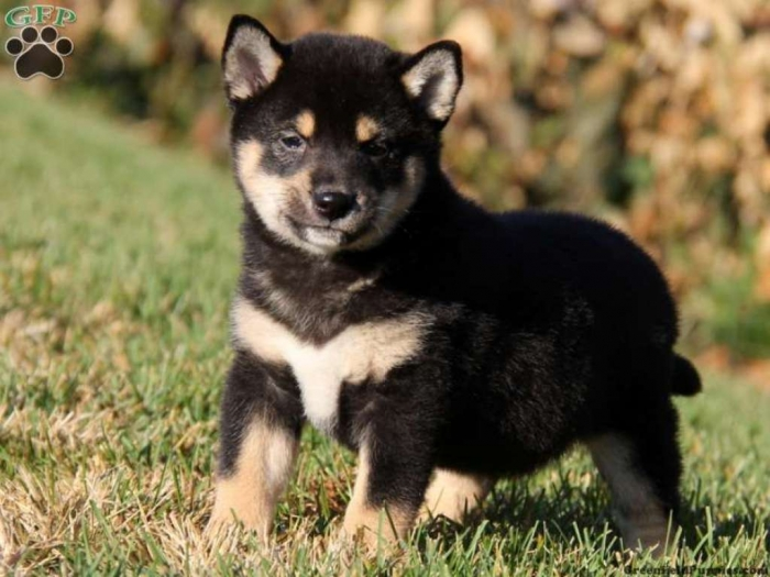 pup_x_1383097663_0 What is The Dog Breed Shiba Inu Puppies?