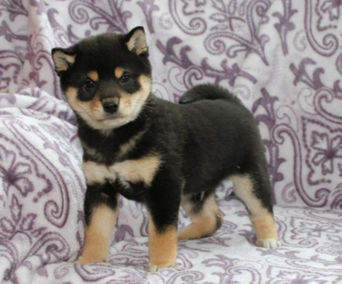 puppies_for_sale_in_pa_3343_1 What is The Dog Breed Shiba Inu Puppies?