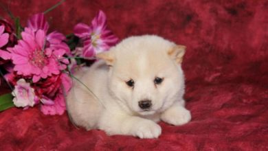 Photo of What is The Dog Breed Shiba Inu Puppies?