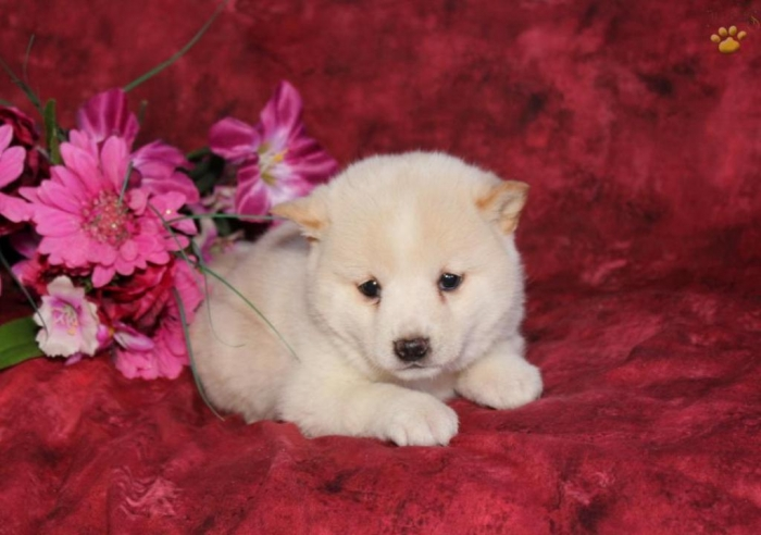 What is The Dog Breed Shiba Inu Puppies?