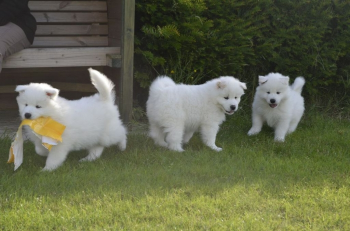 samoyed-puppies-ready-now-51d705fe41856 Do You Like the Fluffy Samoyed Puppies?