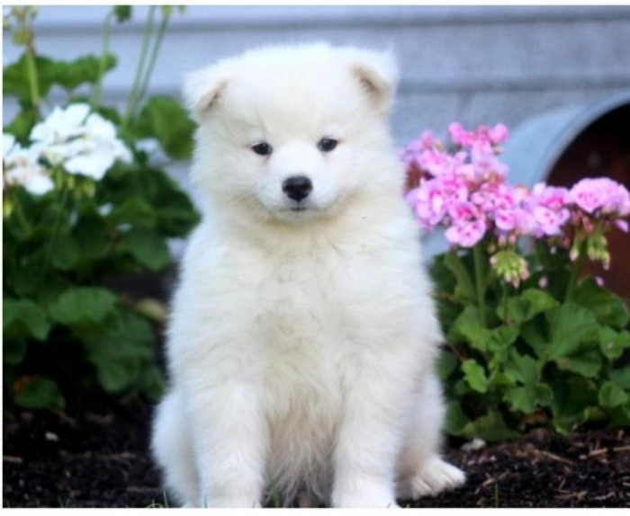 samoyed-puppy-picture-328030c5-74ce-4d50-8db6-2918db12aabb Do You Like the Fluffy Samoyed Puppies?