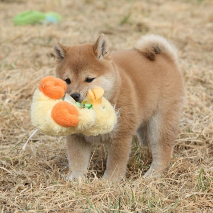 shiba-inu-puppies-11 What is The Dog Breed Shiba Inu Puppies?