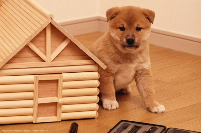 shiba-inu-puppies-for-sale-red-red-sesame-black-amp-tan-shiba-inu-54091b49ee426 What is The Dog Breed Shiba Inu Puppies?