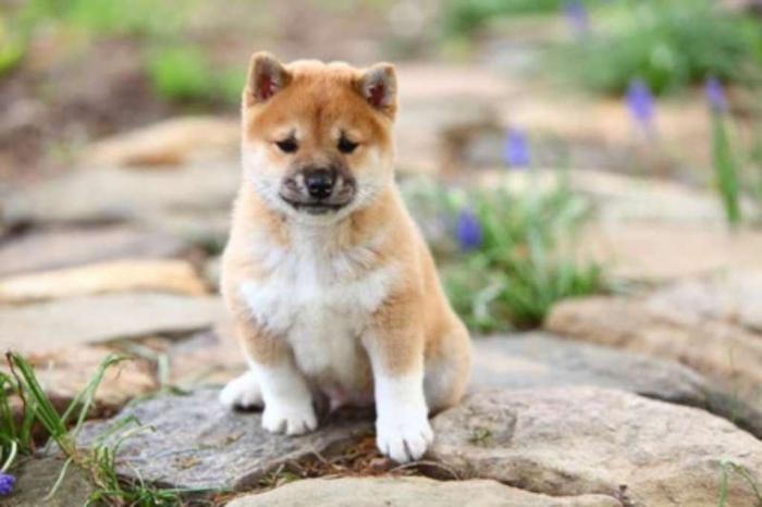 shiba-inu-pups What is The Dog Breed Shiba Inu Puppies?
