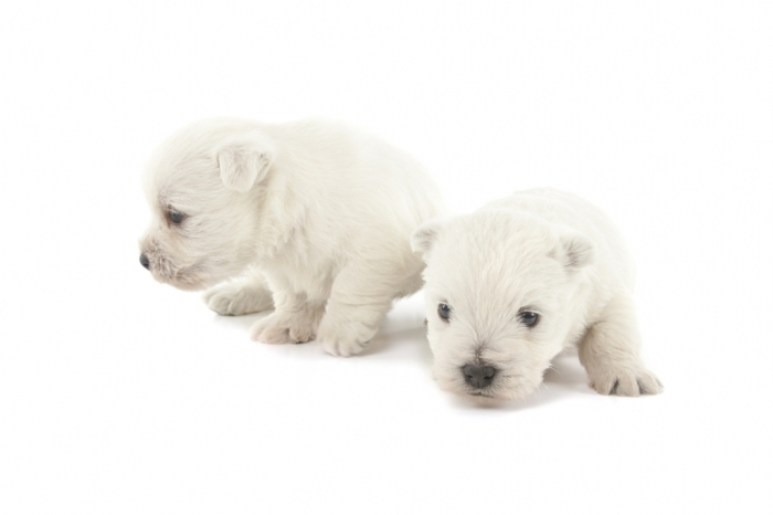 shutterstock_142749094 5 Most Hidden Facts About Westie Puppies ... [Exclusive]
