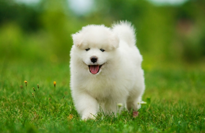 shutterstock_147148859 Do You Like the Fluffy Samoyed Puppies?