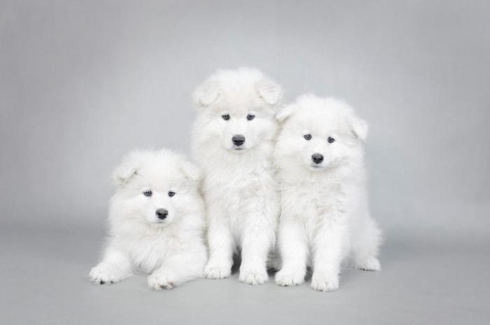three-little-samoyed-puppies-portrait-waldek-dabrowski Do You Like the Fluffy Samoyed Puppies?