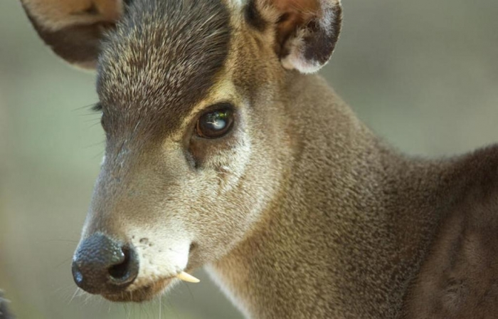tufted-deer-vampire Take a Look at the Scary Vampire Deer before It Disappears