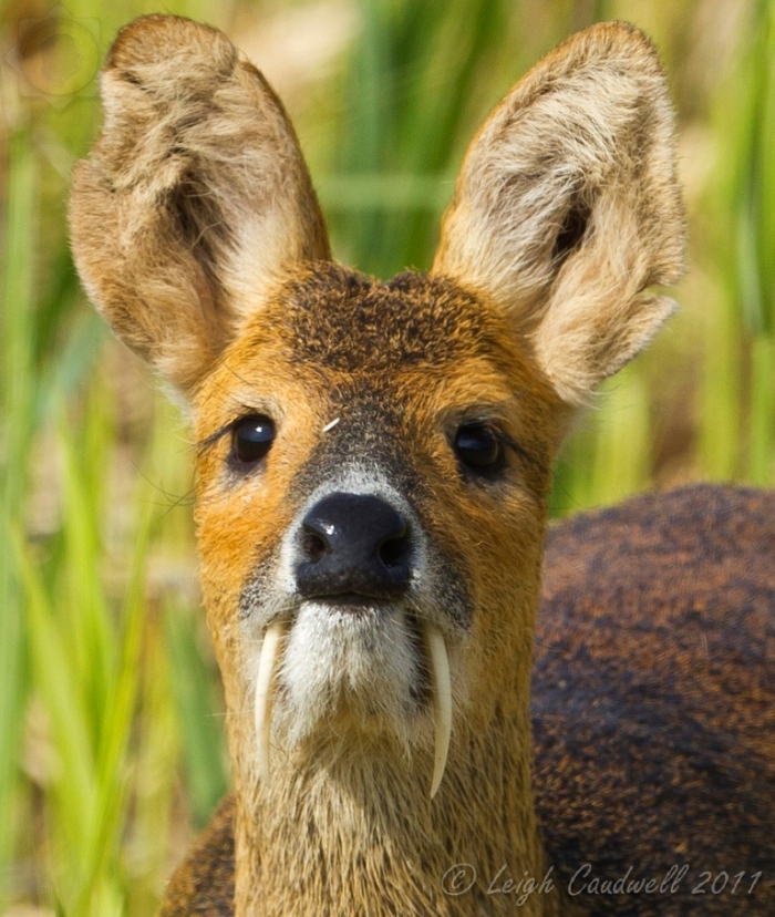 tumblr_mbm5bcAzJd1qiwe0oo1_1280 Take a Look at the Scary Vampire Deer before It Disappears