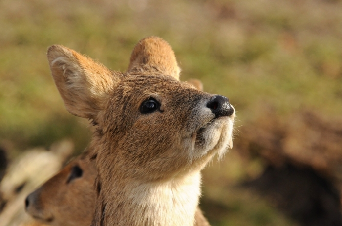 tumblr_mxbfw4Nojv1sqmphzo5_1280 Take a Look at the Scary Vampire Deer before It Disappears