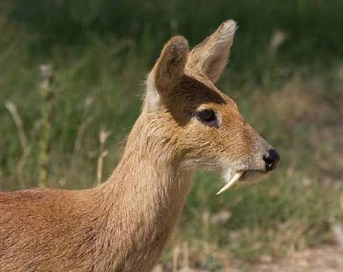vampire-deer-2 Take a Look at the Scary Vampire Deer before It Disappears