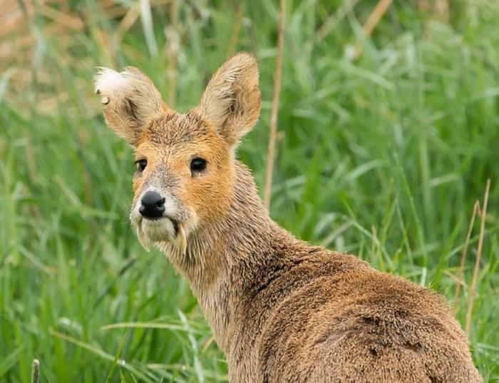 vampire-deer-chinese-water-deer-1 Take a Look at the Scary Vampire Deer before It Disappears