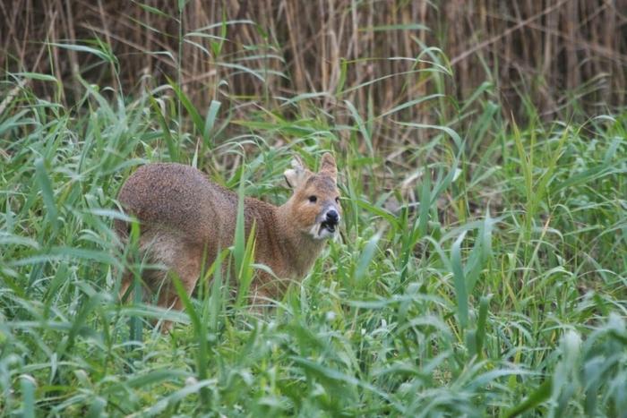 vampire-deer-chinese-water-deer-2 Take a Look at the Scary Vampire Deer before It Disappears