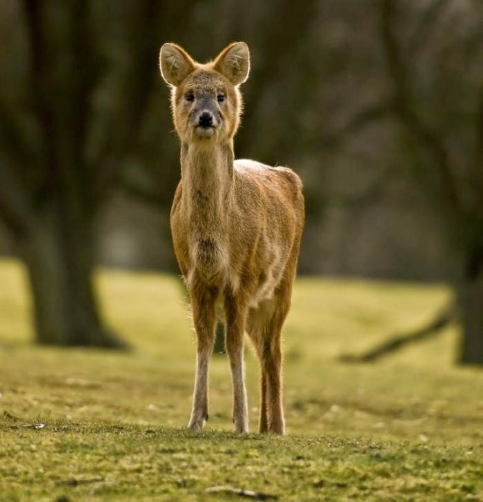 vampire-deer-chinese-water-deer-6 Take a Look at the Scary Vampire Deer before It Disappears