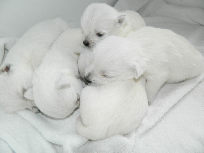 west-highland-white-terrier-puppies-41481-hd-wallpapers-background 5 Most Hidden Facts About Westie Puppies ... [Exclusive]