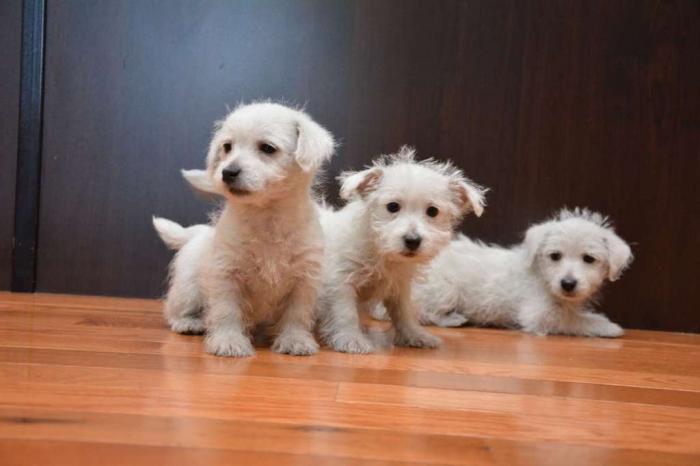 westie-puppy-7 5 Most Hidden Facts About Westie Puppies ... [Exclusive]