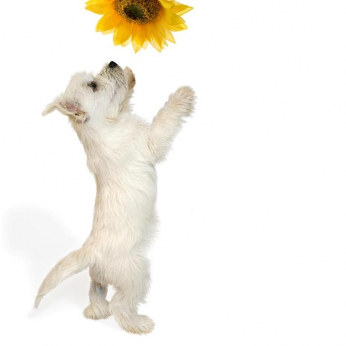 westie-puppy-and-sunflower-natalie-kinnear 5 Most Hidden Facts About Westie Puppies ... [Exclusive]