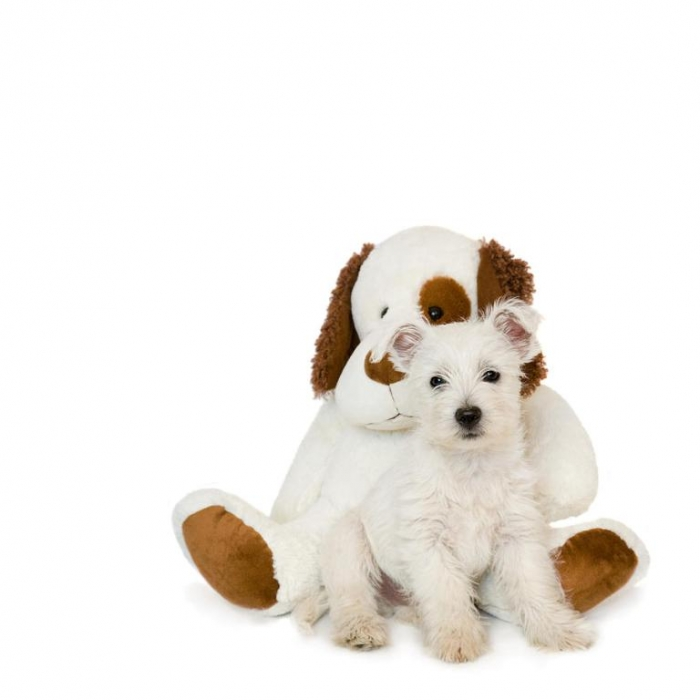 westie-puppy-and-teddy-bear-natalie-kinnear 5 Most Hidden Facts About Westie Puppies ... [Exclusive]