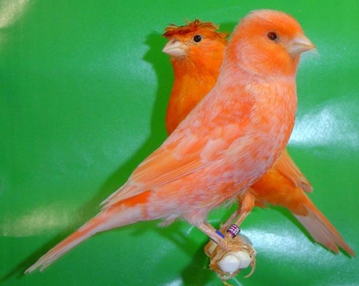"""-Κοκκινα-Λιποχρωμικα-22 """" Canary"""" The Bird of Kings, Rich People & Miners"""