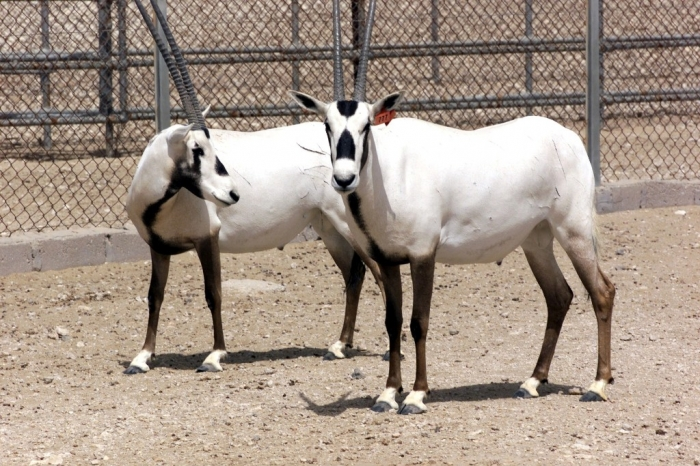The Arabian Oryx Returns Back to Life