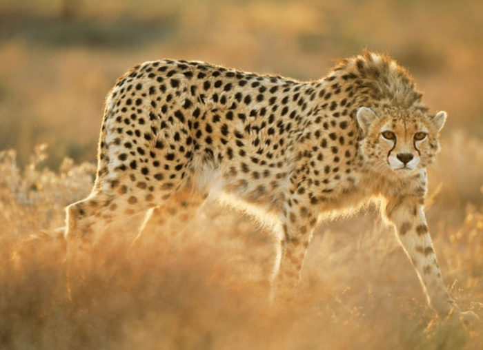 03-koshki-rescued-asiatic-cheetah-670 Is Cheetah Going to Be Extinct & Disappear from Our Life?