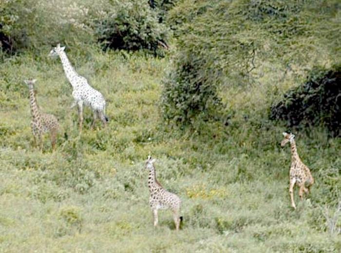 050913_whitegiraffe Rare White Giraffes Spotted in Different Areas