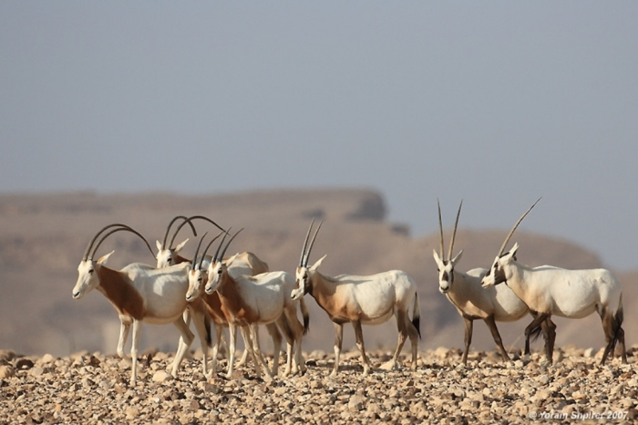06c791d The Arabian Oryx Returns Back to Life