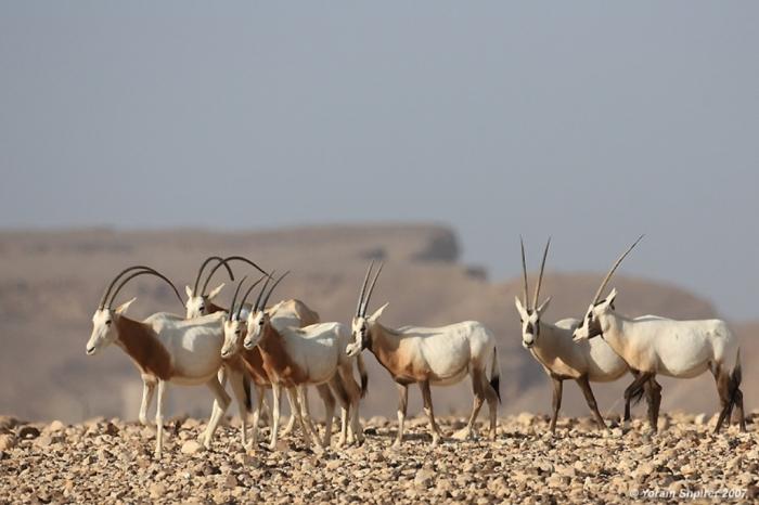 06c791d The Arabian Oryx Returns Back to Life