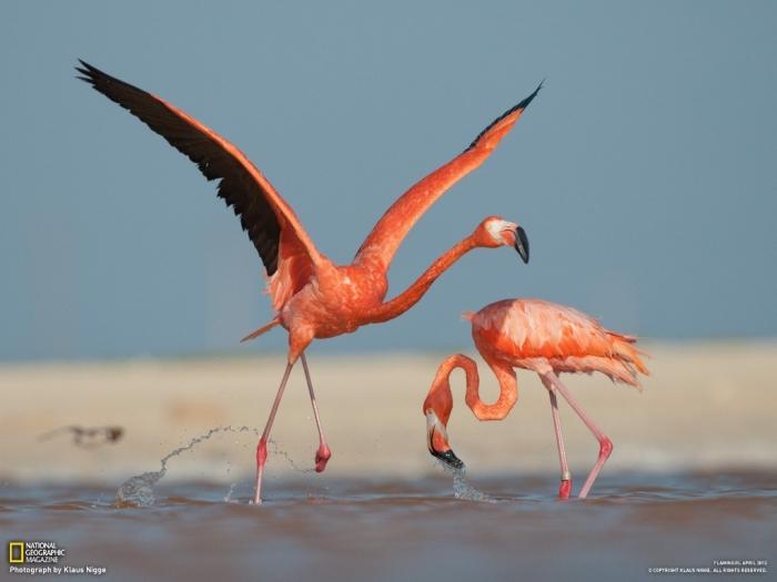 "07-caribbean-flamingo-ria-lagartos_1600 Strange Facts about the Most Beautiful Bird on Earth ""Flamingo"""