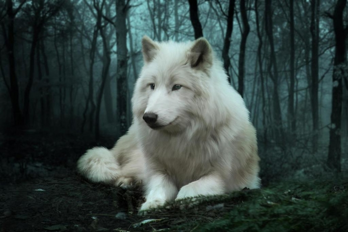 1-the-white-wolf-julie-l-hoddinott Serious Facts You Must Know about the White Snow Wolf