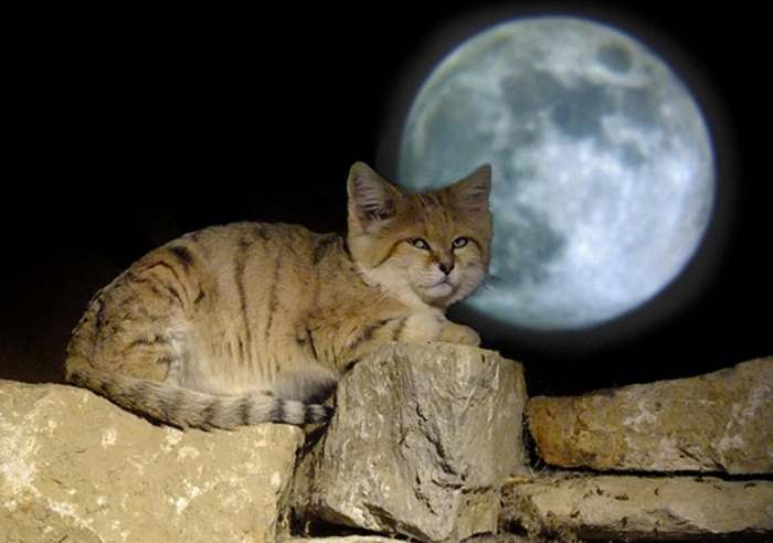 10490036735_22d4eae06a Why Is the Sand Cat the Strongest Cat on Earth?