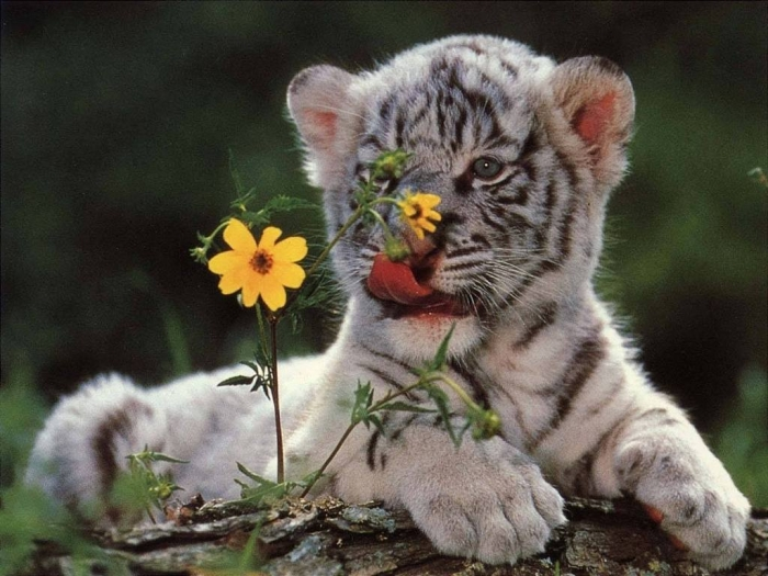 1116072_152587848271734_1244369162_o Why Are These Rare & Weird Tigers White?