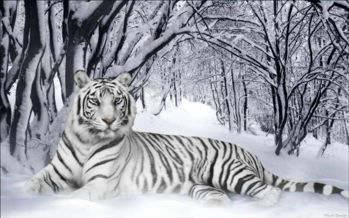 1280840 Why Are These Rare & Weird Tigers White?