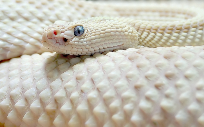 1280_White_Snake Is the White Snake Just a Legend?