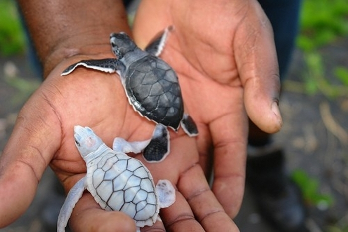 1722627544664006492SNTvxJZc Do the White Turtles Really Exist on Earth?