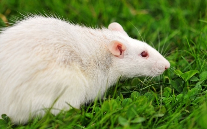 1758873 Why Are the White Rats Extremely Important?