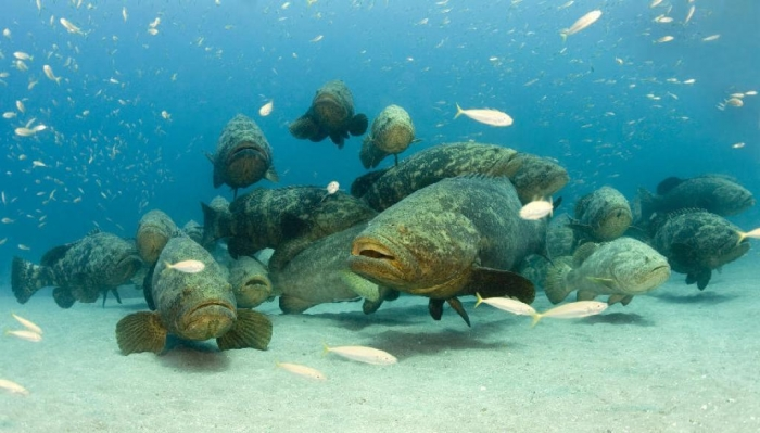 1dc1b6_62f7fdf2e011735bfafe7d7533eebb8b Is The Atlantic Goliath Grouper Endangered?