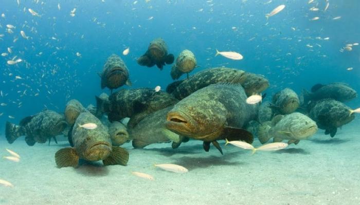 1dc1b6_62f7fdf2e011735bfafe7d7533eebb8b Is The Atlantic Goliath Grouper Endangered?
