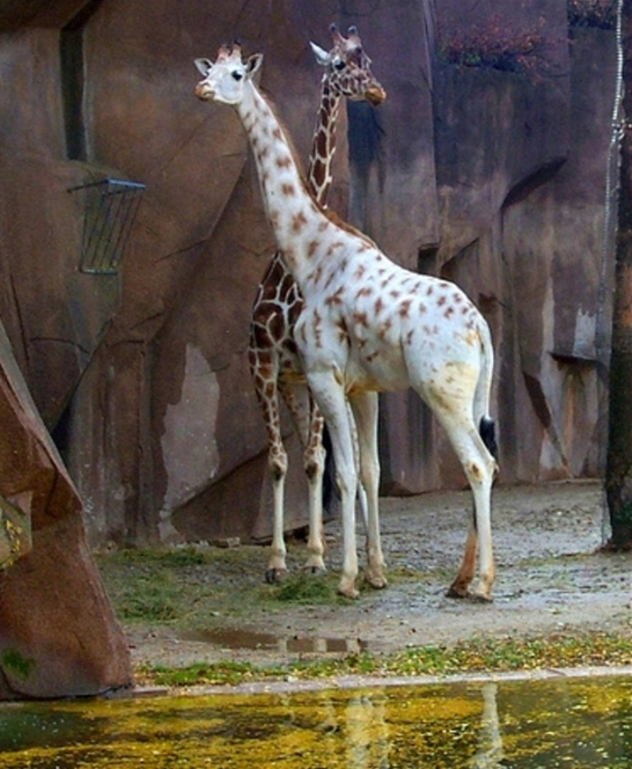 2275734585_354f917c72 Rare White Giraffes Spotted in Different Areas