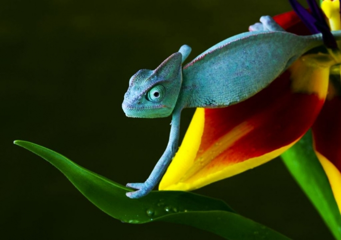 2413718018_8b81b1c0cf_o1 How Can the Chameleon Change Its Color?