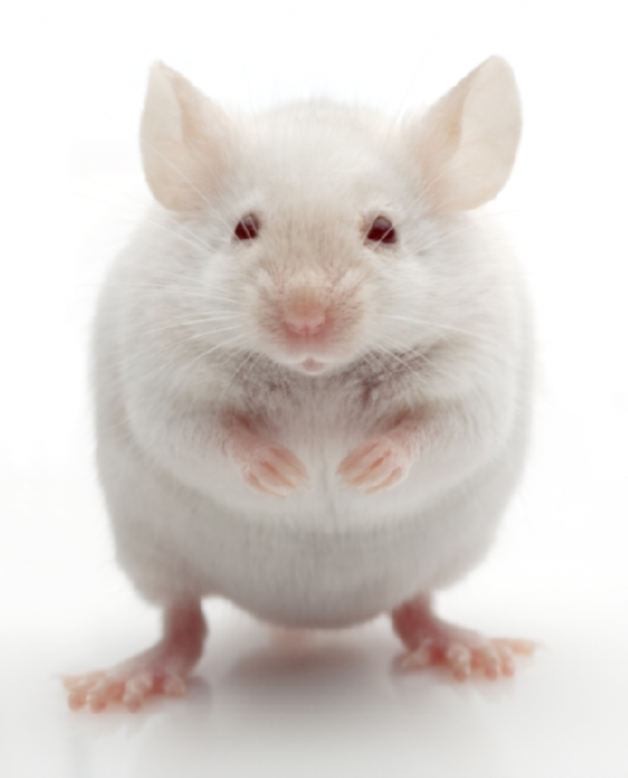 301454 Why Are the White Rats Extremely Important?