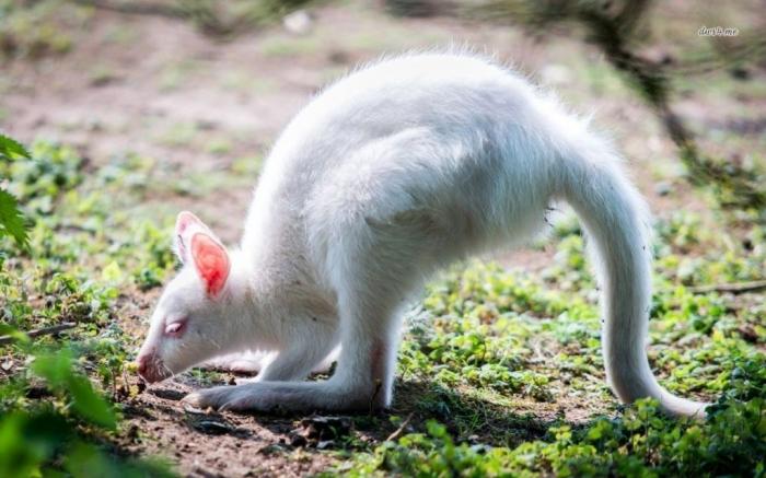 30569-white-kangaroo-1280x800-animal-wallpaper Have You Ever Seen a White Kangaroo Before?