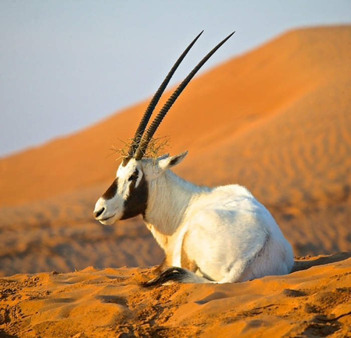35-Arabian-Oryx-United-Arab-Emirates The Arabian Oryx Returns Back to Life