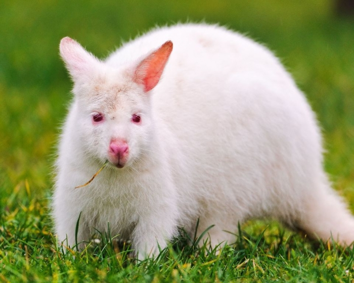 351076_white-kangaroo_belyj-kenguru_albinos_2560x2048_www.GdeFon.ru_ Have You Ever Seen a White Kangaroo Before?