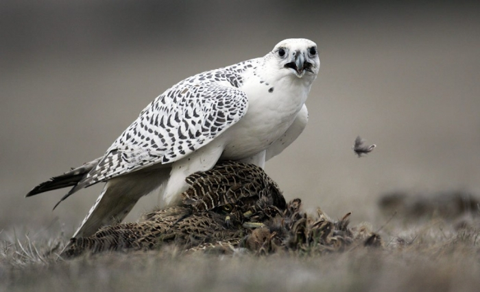 431_1gyr3 Rare White Falcons You Have Never Seen Before