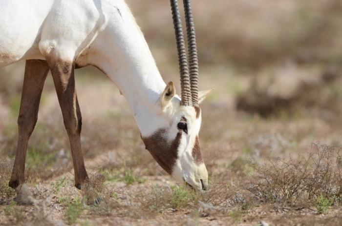 4391959_orig The Arabian Oryx Returns Back to Life