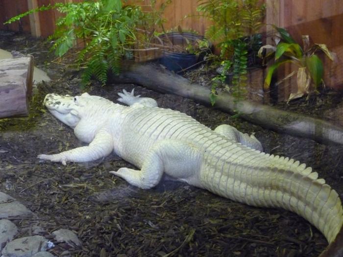 4553317729_6b3c156c2b_z Do White Alligators Really Exist on Earth?