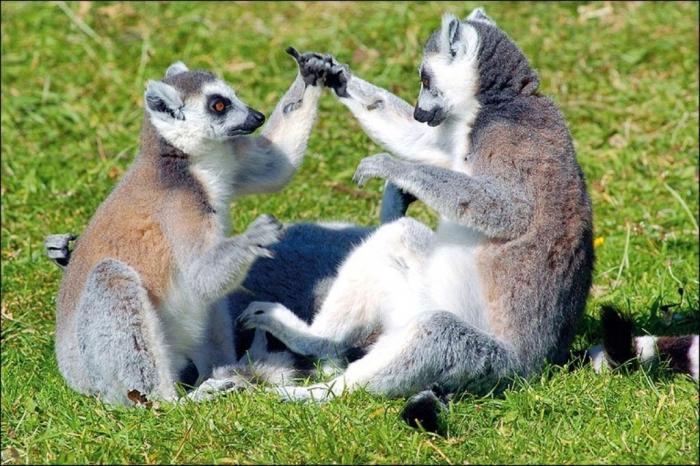 47750731_lemur4 Are Lemurs Ghosts, Monkeys Or Just Strange Creatures?