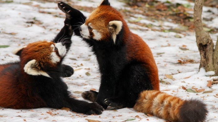 4858379 Is the Red Panda a Cat, Bear or Raccoon?